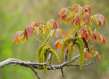 Walnut Catkins